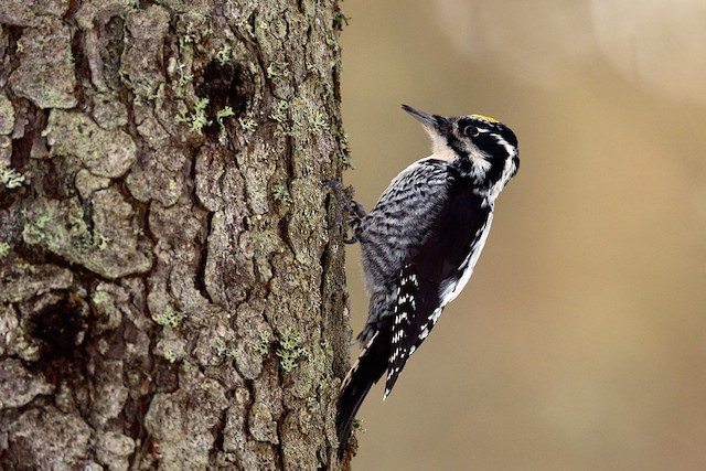 Eurasian Three-toed Woodpecker
