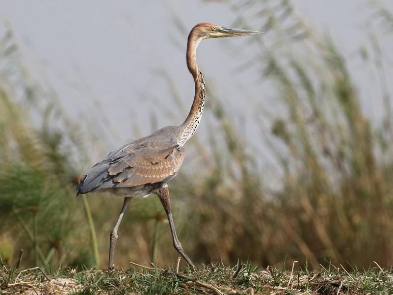 Goliath Heron - Charley Hesse