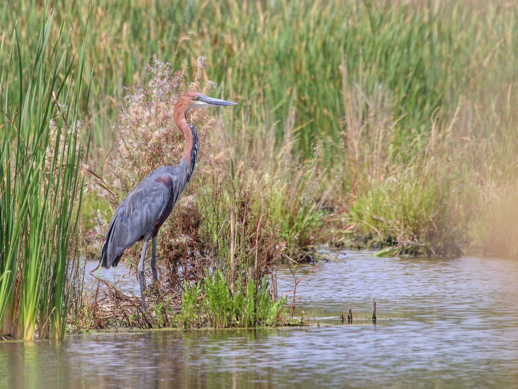 Goliath Heron - Allison Miller
