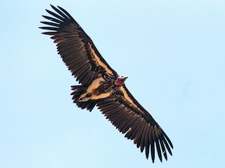 - Lappet-faced Vulture