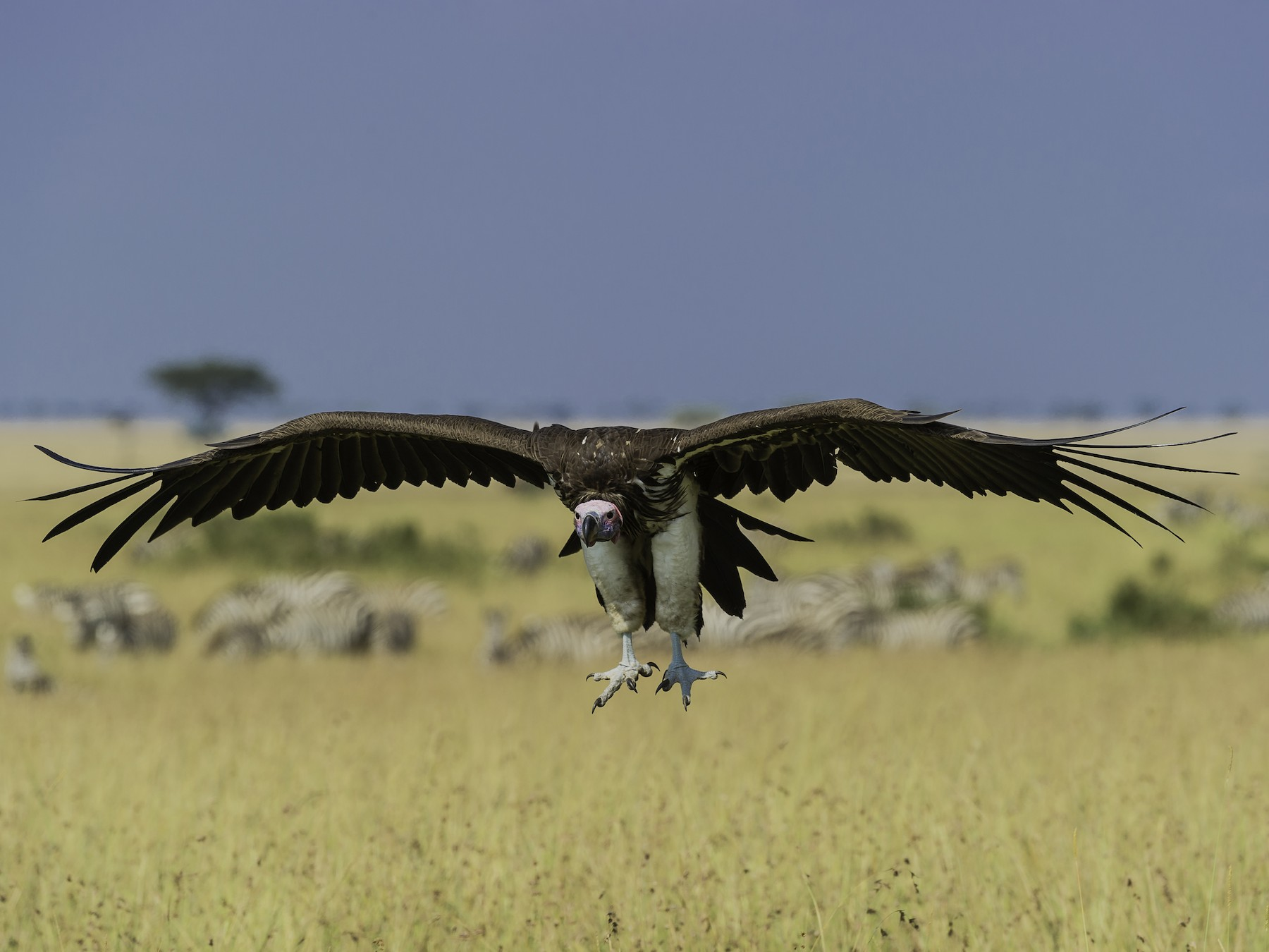 Lappet-faced Vulture - Robert Johnson
