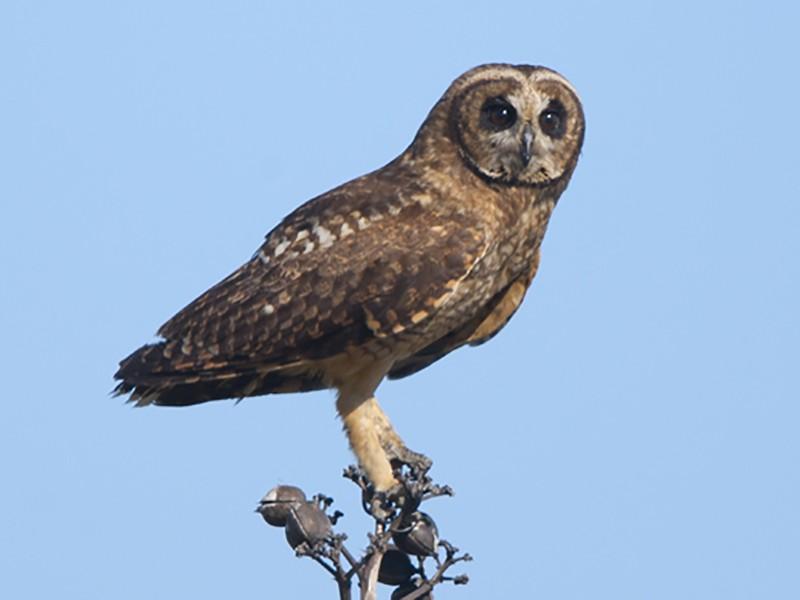 Marsh Owl - Tony Palliser