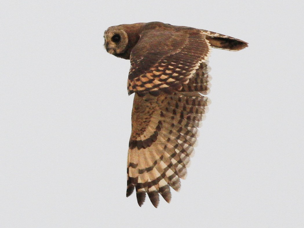 Marsh Owl - Kyle Lima