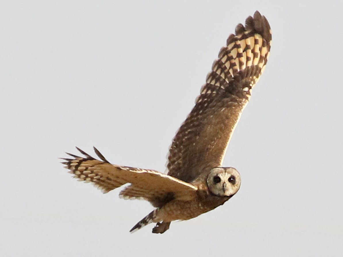 Marsh Owl - Charley Hesse