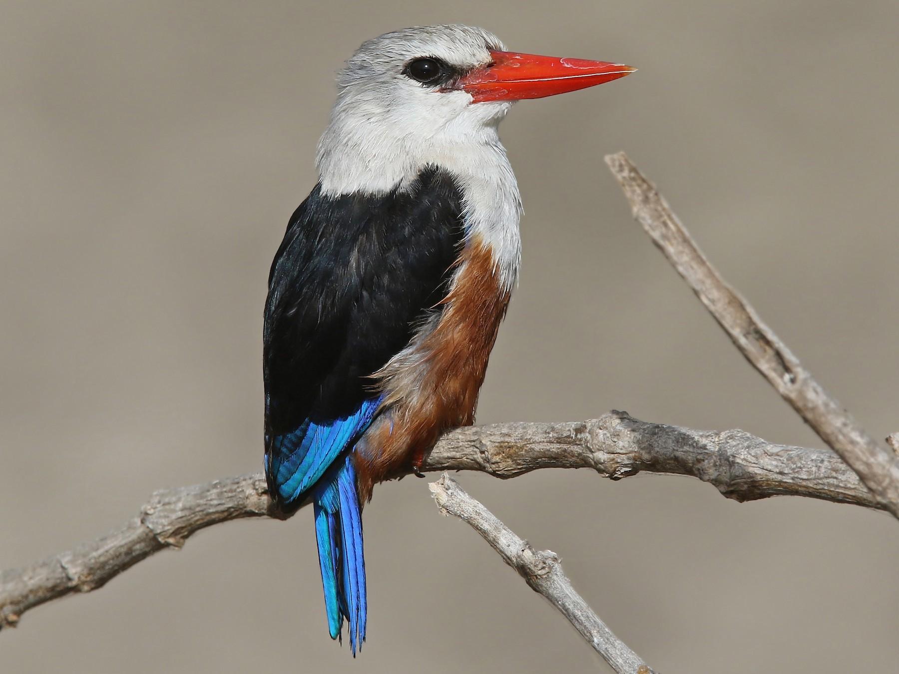 Gray-headed Kingfisher - Volker Hesse