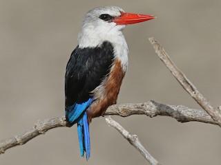 - Gray-headed Kingfisher