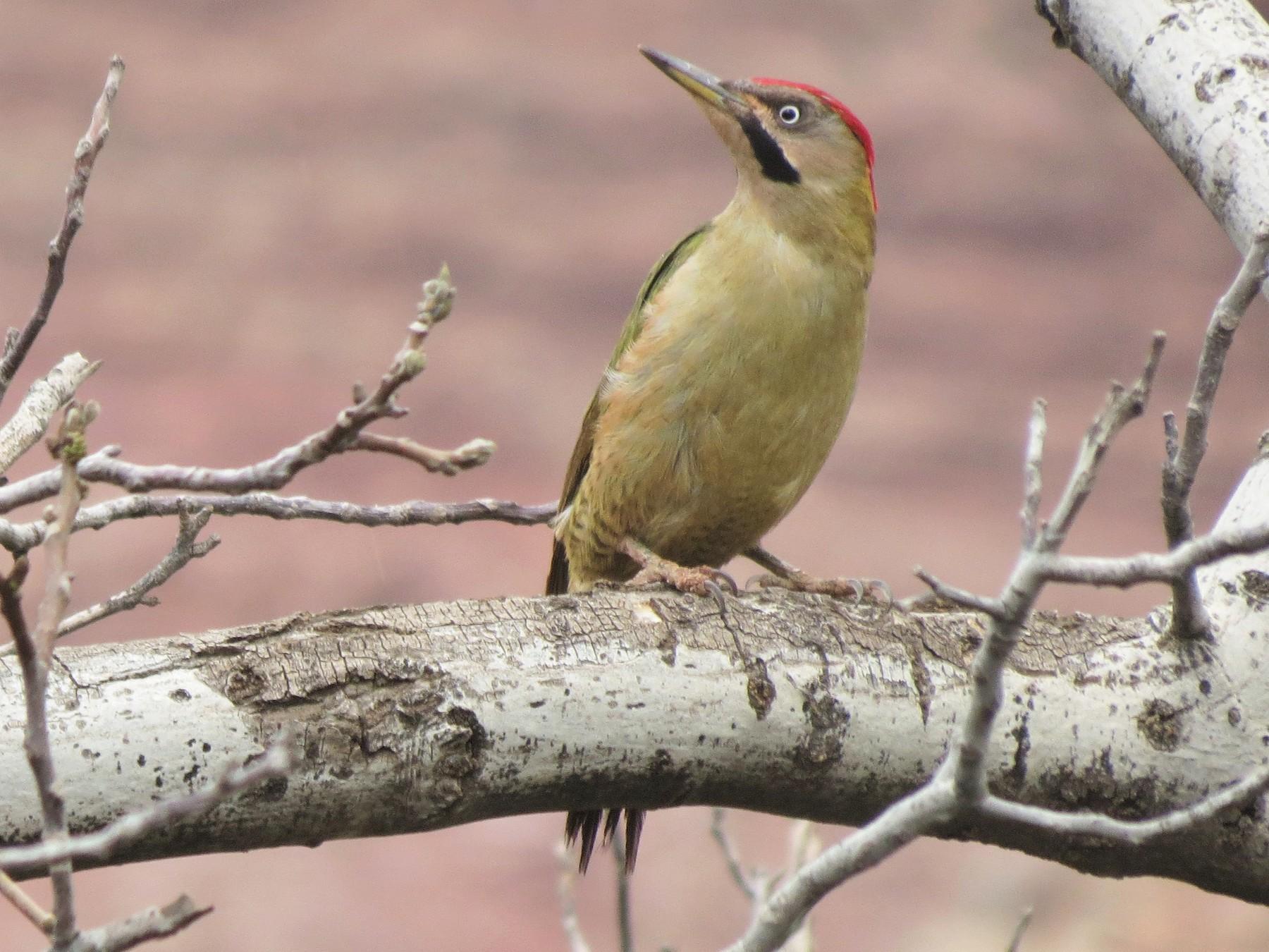 Levaillant's Woodpecker - Kevin Schwartz