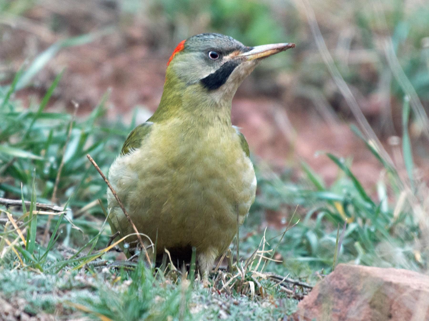 Levaillant's Woodpecker - John C. Mittermeier