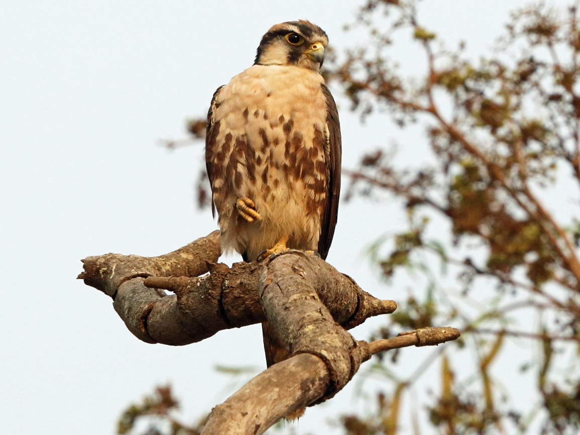 Lanner Falcon - Nigel Voaden