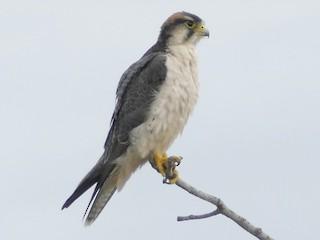 - Lanner Falcon