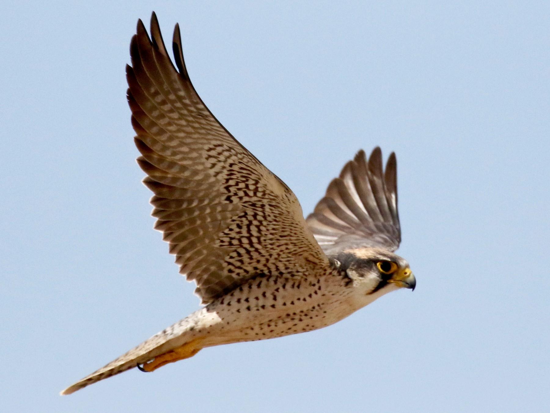 Lanner Falcon - Jay McGowan