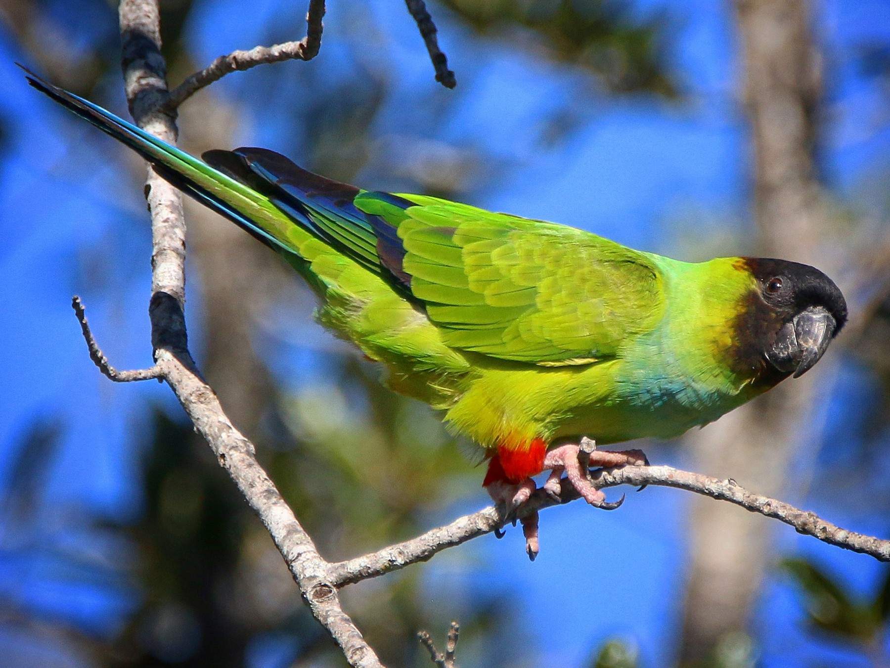 Nanday Parakeet - Jeff Kietzmann