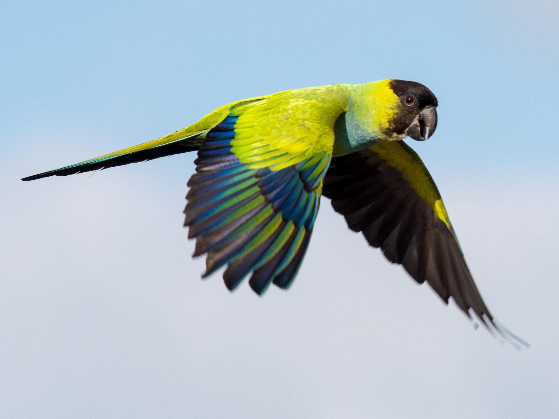 Nanday Parakeet - Melissa James