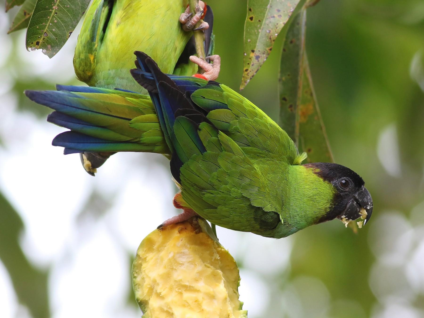 Nanday Parakeet - Nick Bonomo