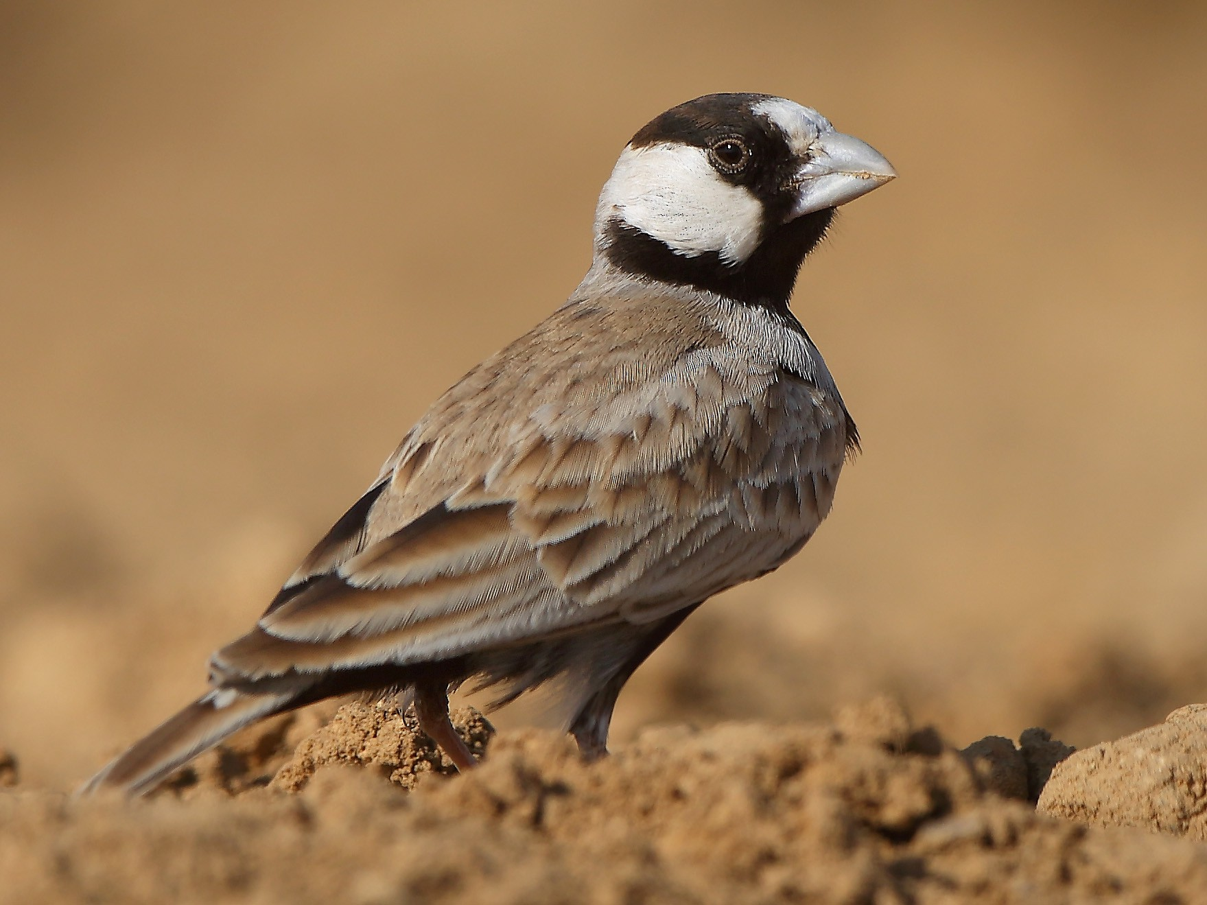 Black-crowned Sparrow-Lark - Albin Jacob