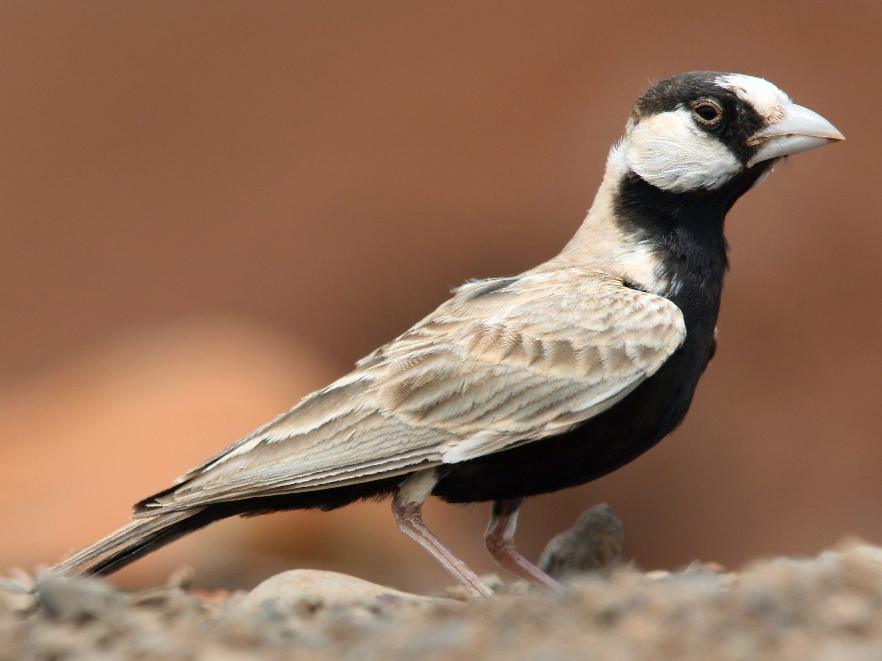 Black-crowned Sparrow-Lark - Volker Hesse