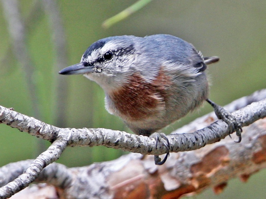 Krüper's Nuthatch - Christoph Moning