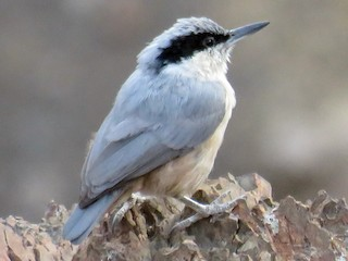 - Eastern Rock Nuthatch
