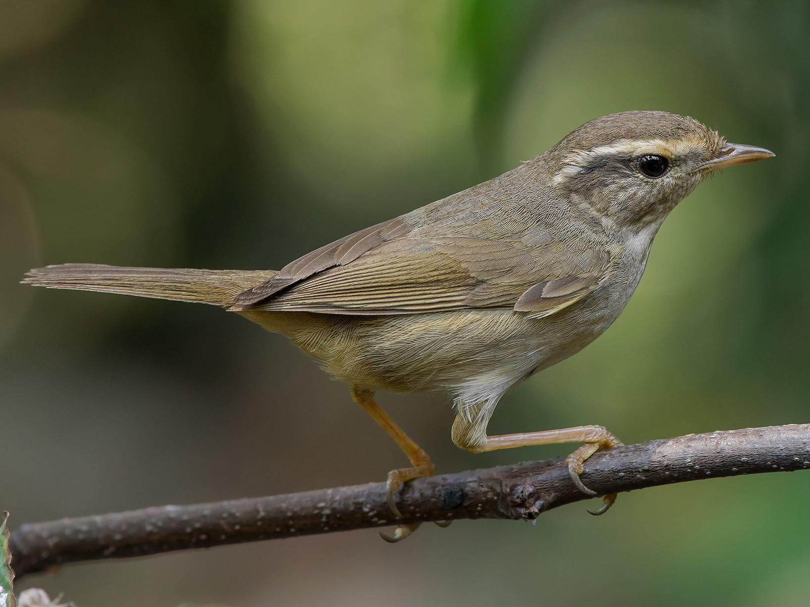 Radde's Warbler - Natthaphat Chotjuckdikul