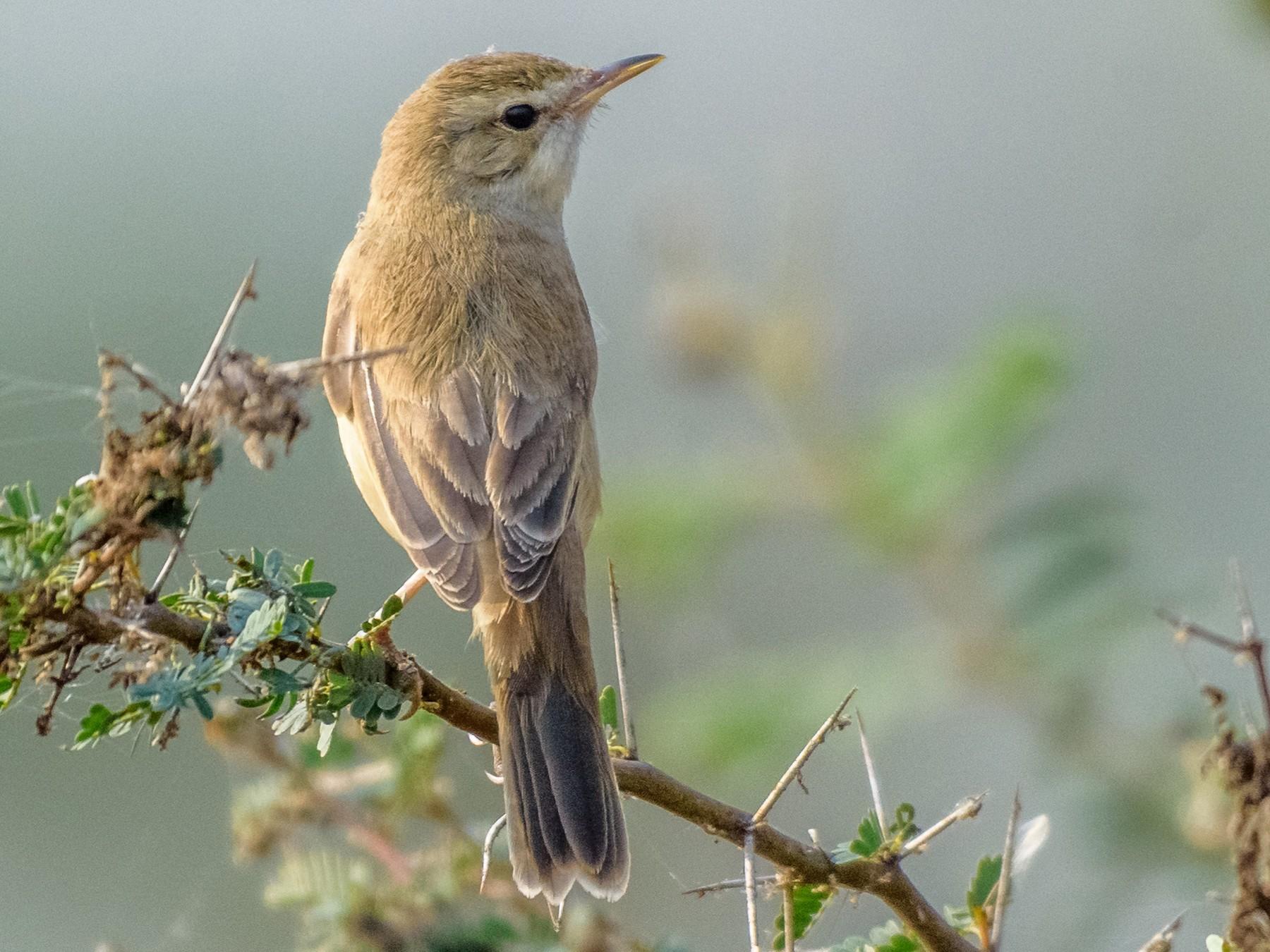 Sykes's Warbler - Balaji P B
