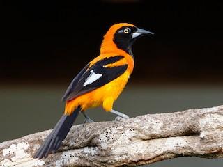 - Orange-backed Troupial