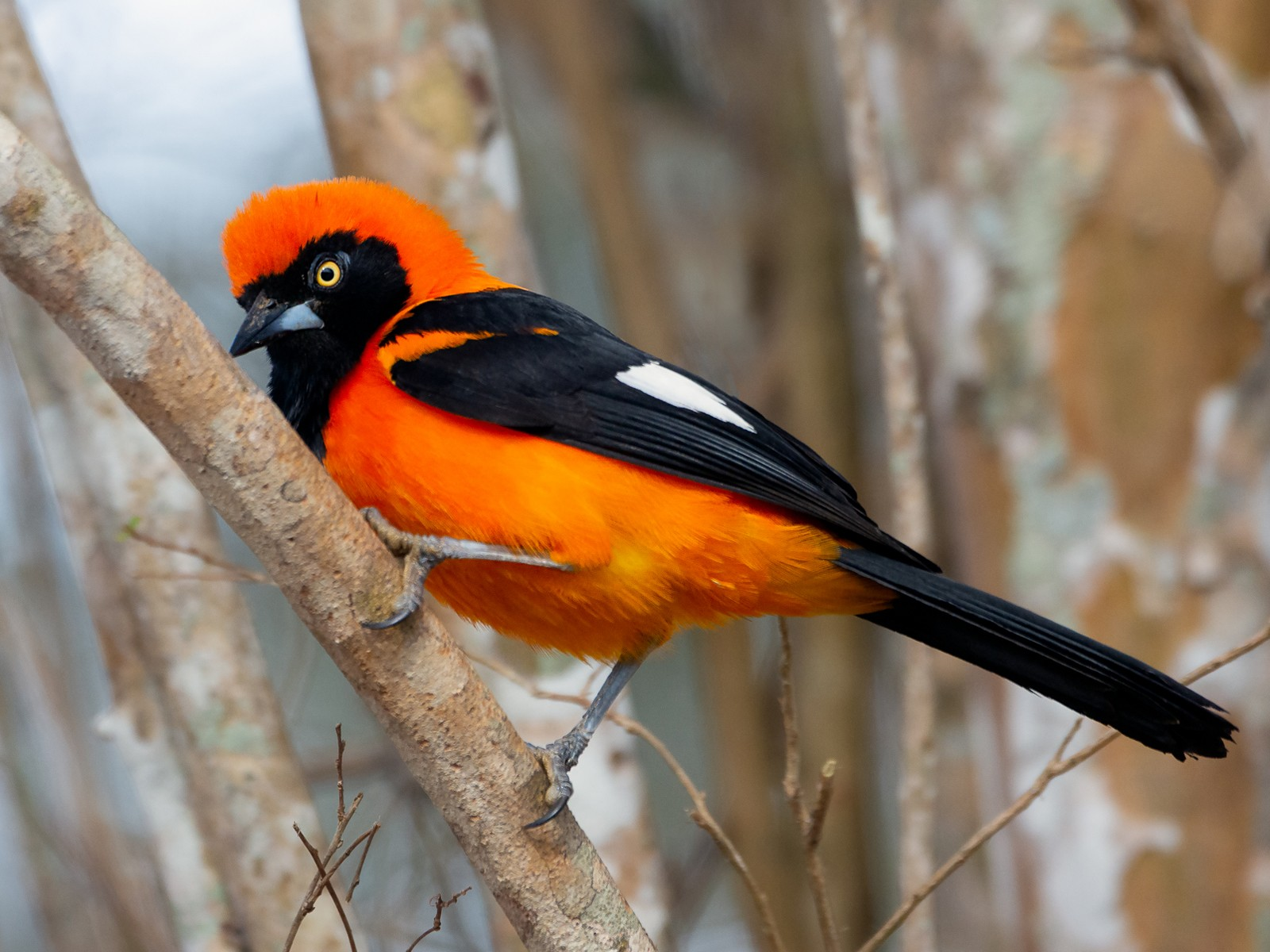 Orange-backed Troupial - George Pagos