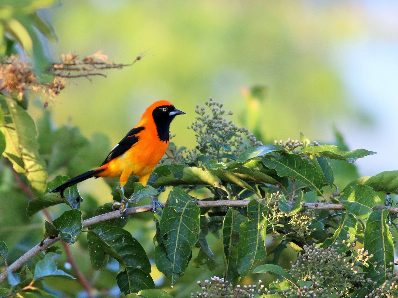 Orange-backed Troupial - Gabriel Abreu