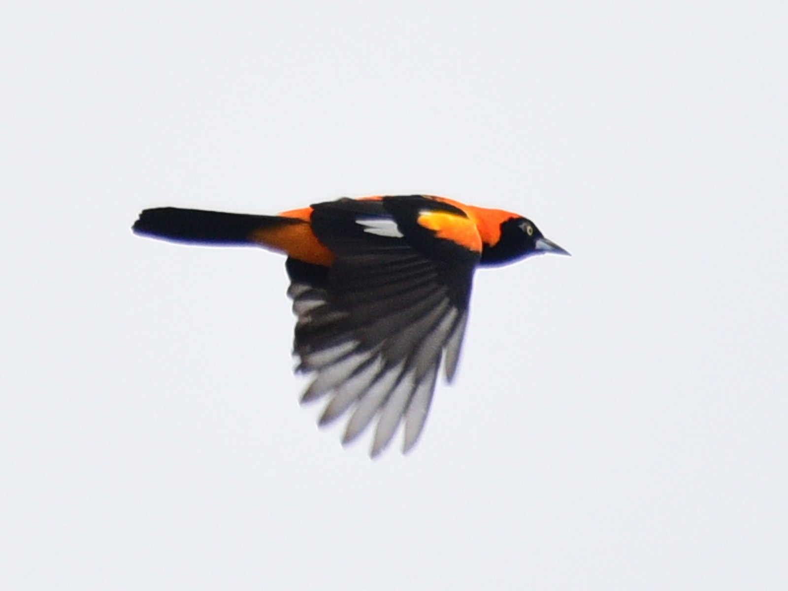 Orange-backed Troupial - Luiz Moschini