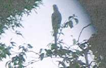 - Spix's Macaw