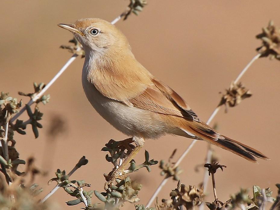 African Desert Warbler - Paul Chapman