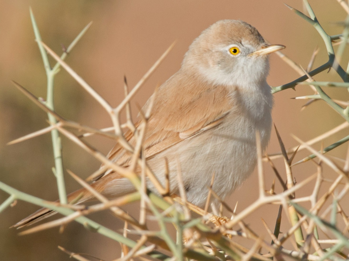 African Desert Warbler - John C. Mittermeier