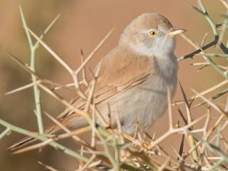 - African Desert Warbler