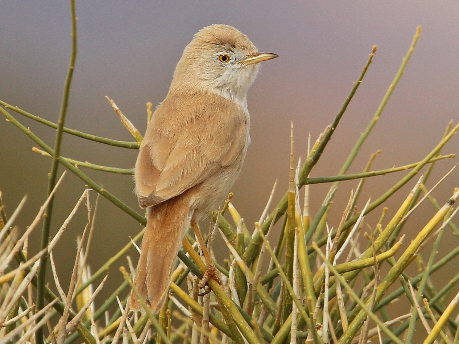 African Desert Warbler - Christoph Moning
