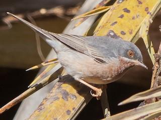- Moltoni's Warbler