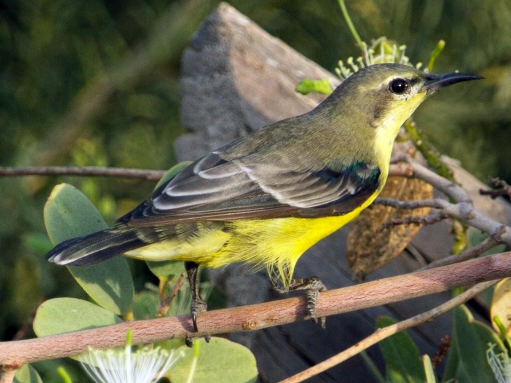 Nile Valley Sunbird - Evan Buechley