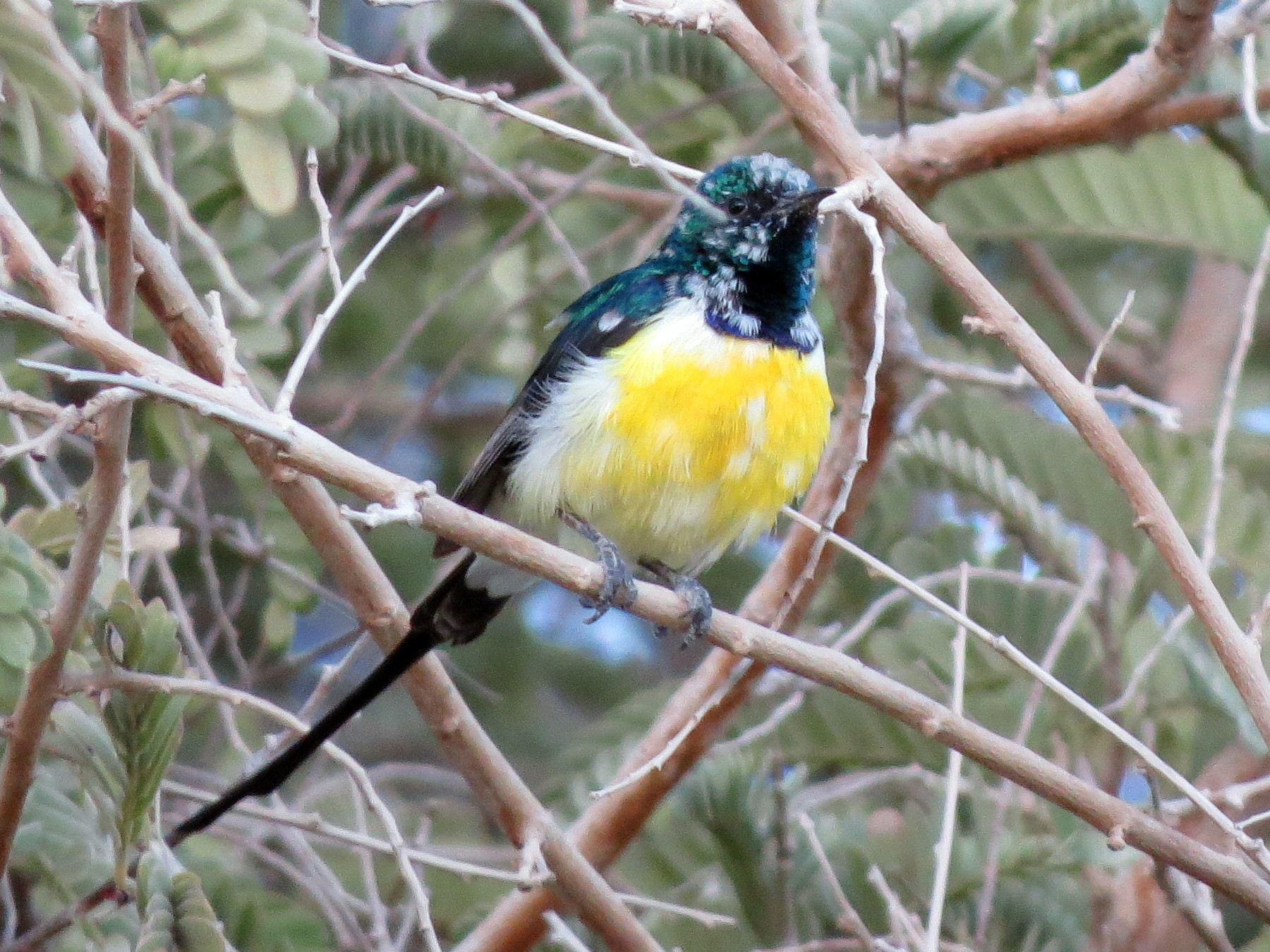 Nile Valley Sunbird - Billi Krochuk