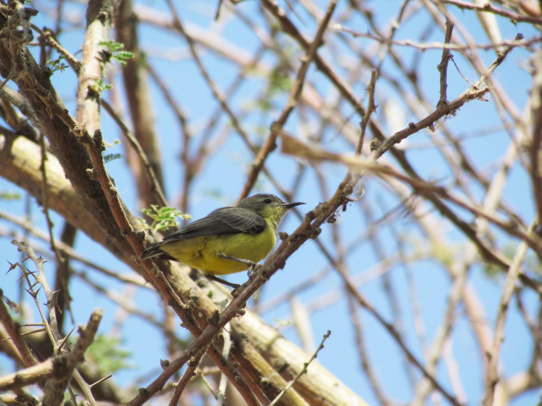 Nile Valley Sunbird - Zlatan Celebic