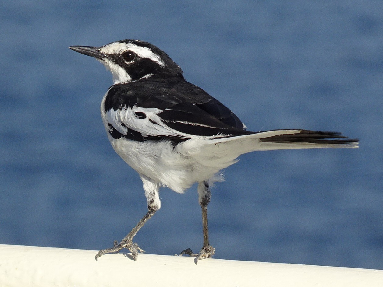 African Pied Wagtail - T I