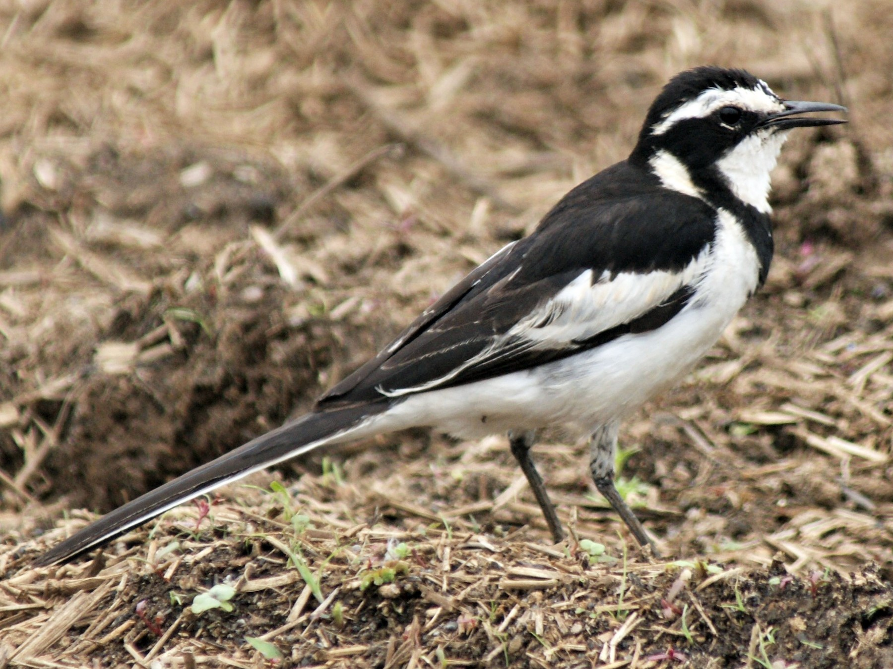 African Pied Wagtail - Ethan Kistler