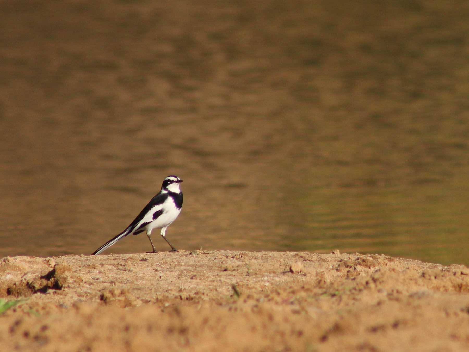 African Pied Wagtail - Callum Evans