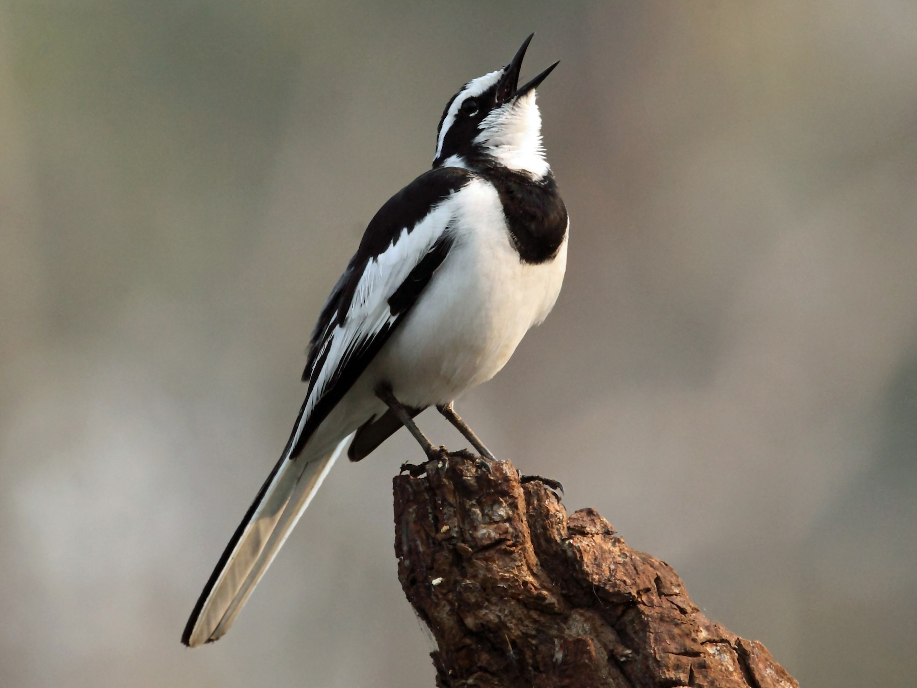 African Pied Wagtail - Nigel Voaden