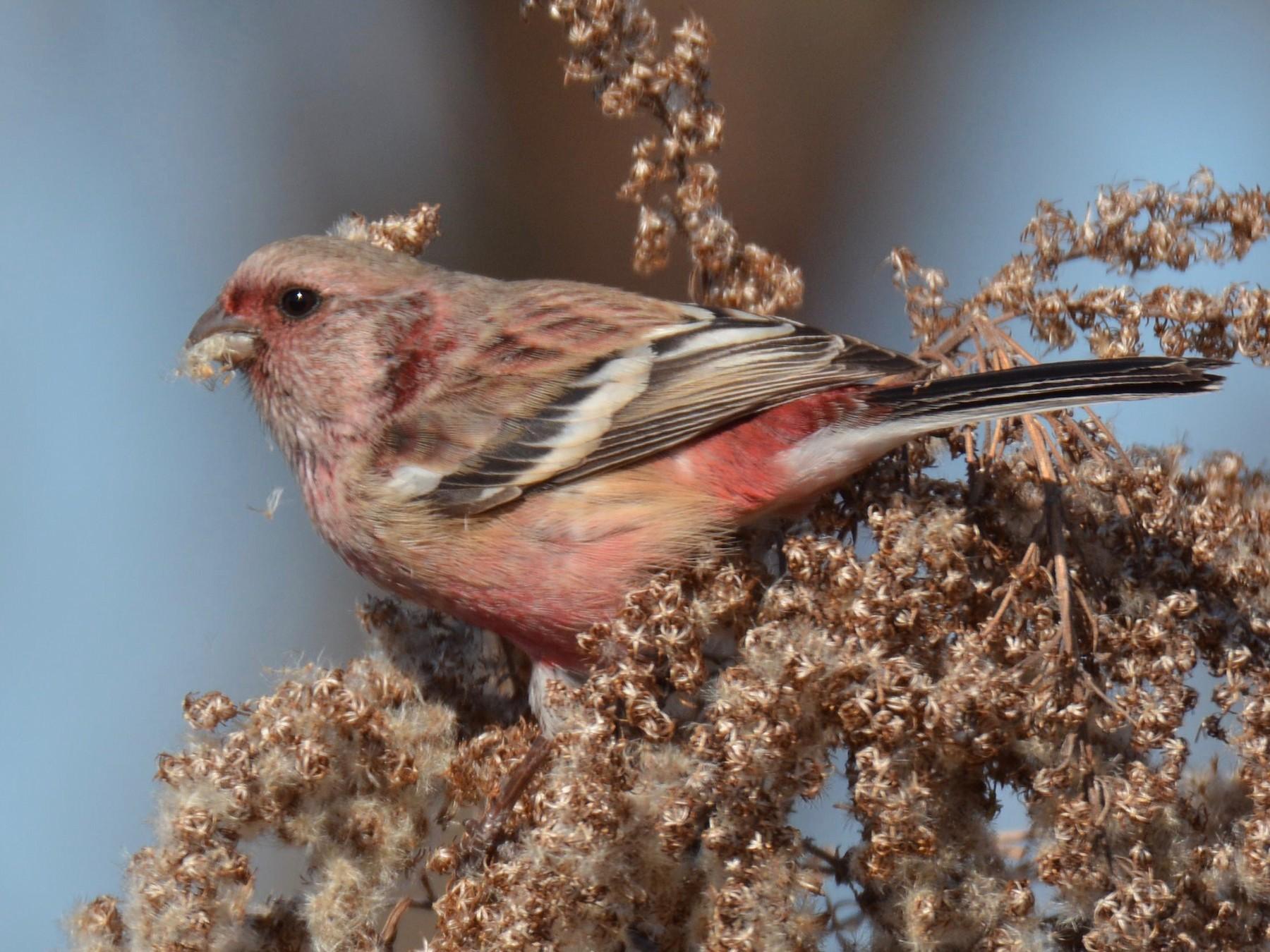 Long-tailed Rosefinch - Yasuhiko Komatsu