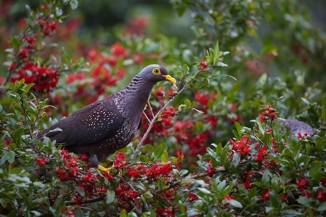 Rameron Pigeon