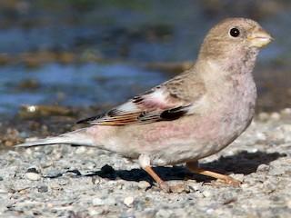 - Mongolian Finch