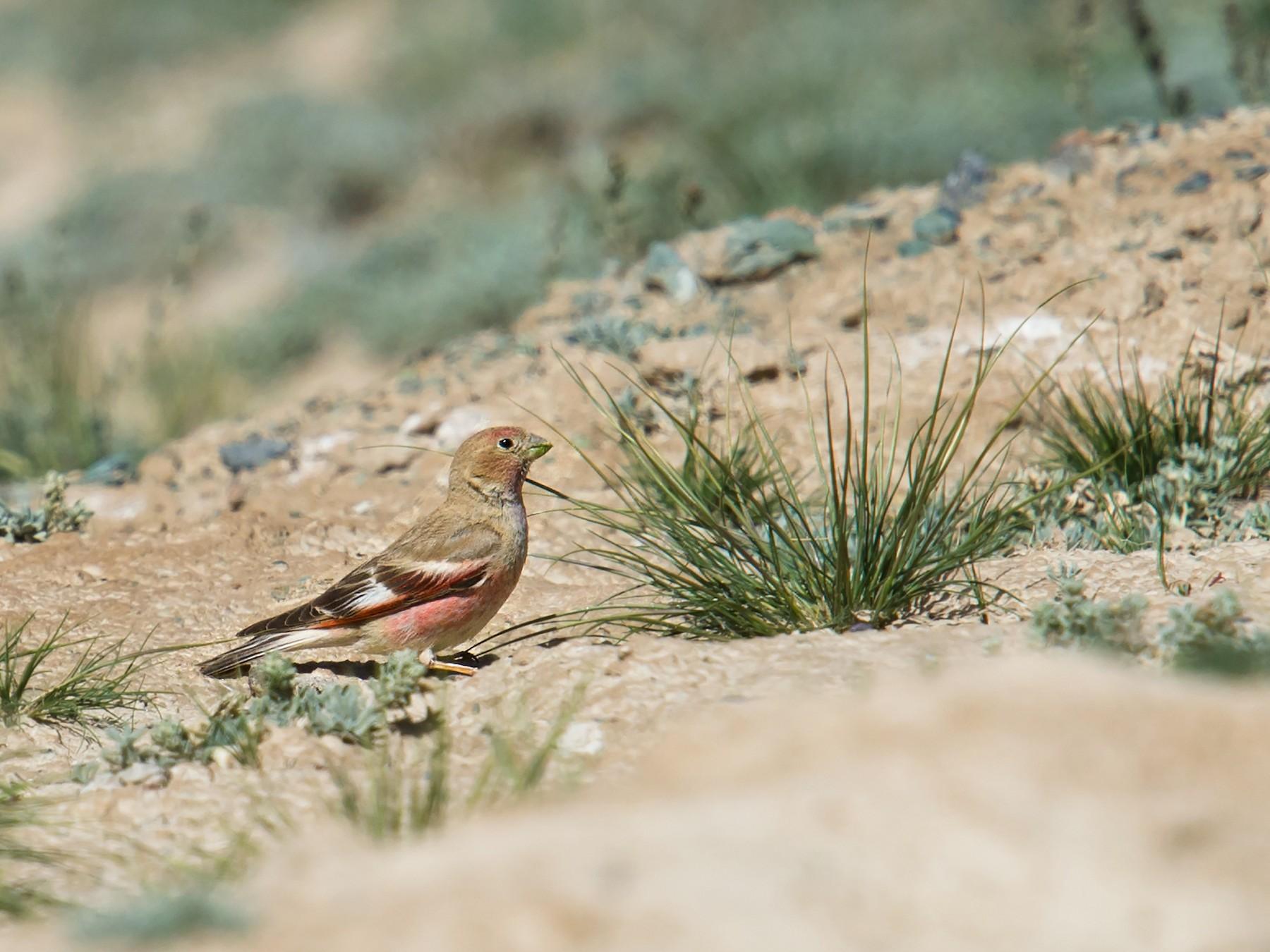 Mongolian Finch - Craig Brelsford
