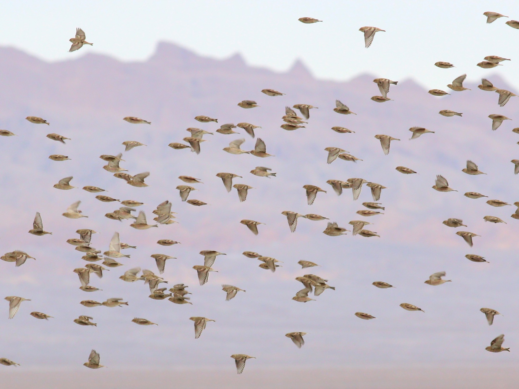 Mongolian Finch - 白尾 海雕