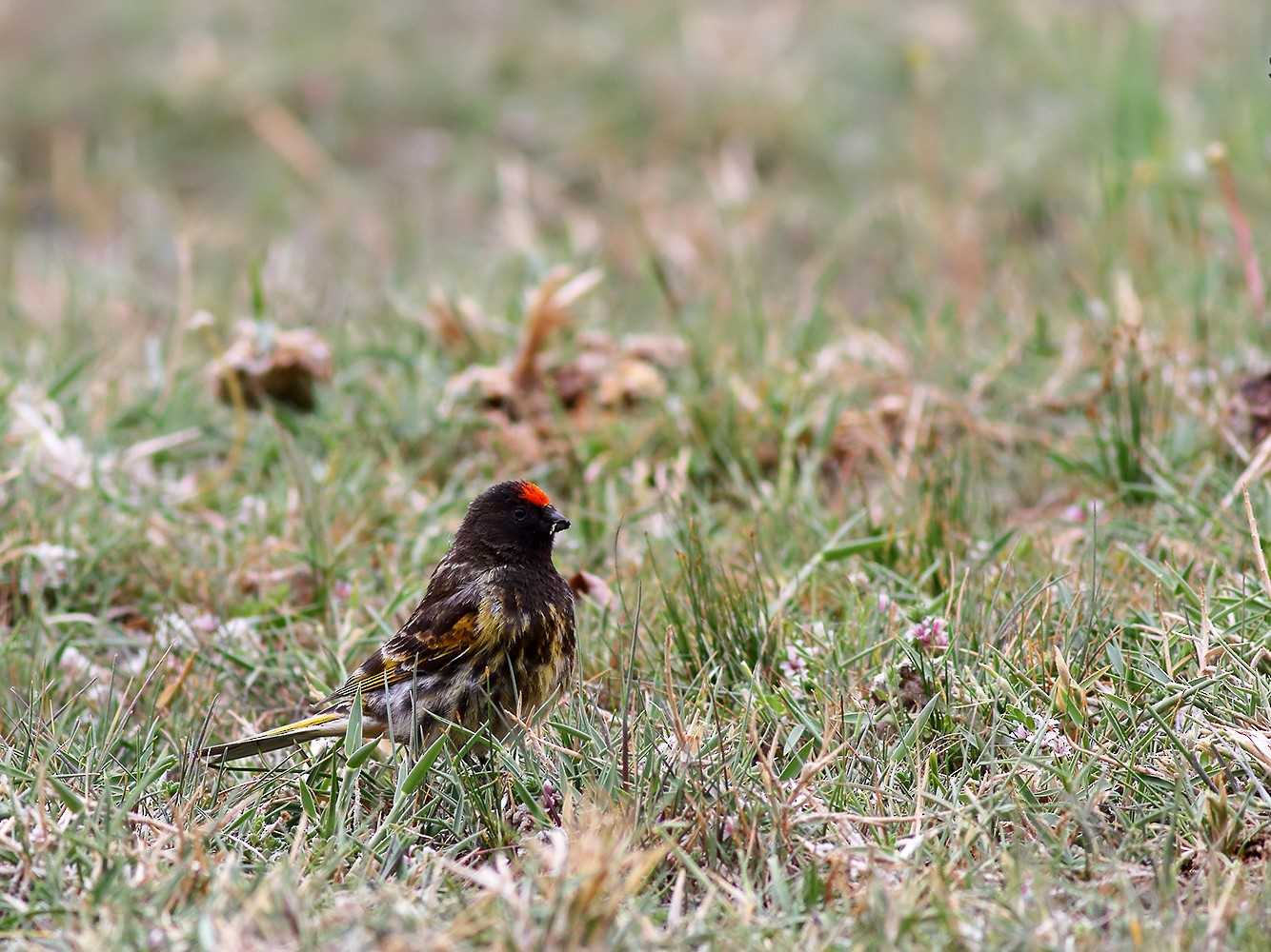 Fire-fronted Serin - Soar Excursions