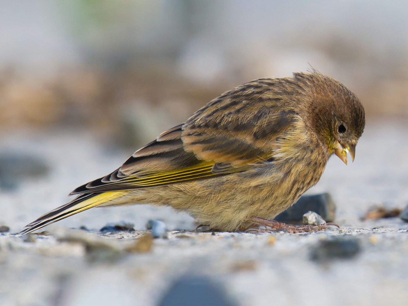Fire-fronted Serin - Craig Brelsford