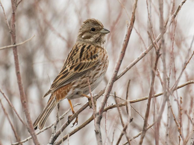 Pine Bunting - James Kennerley 🦄
