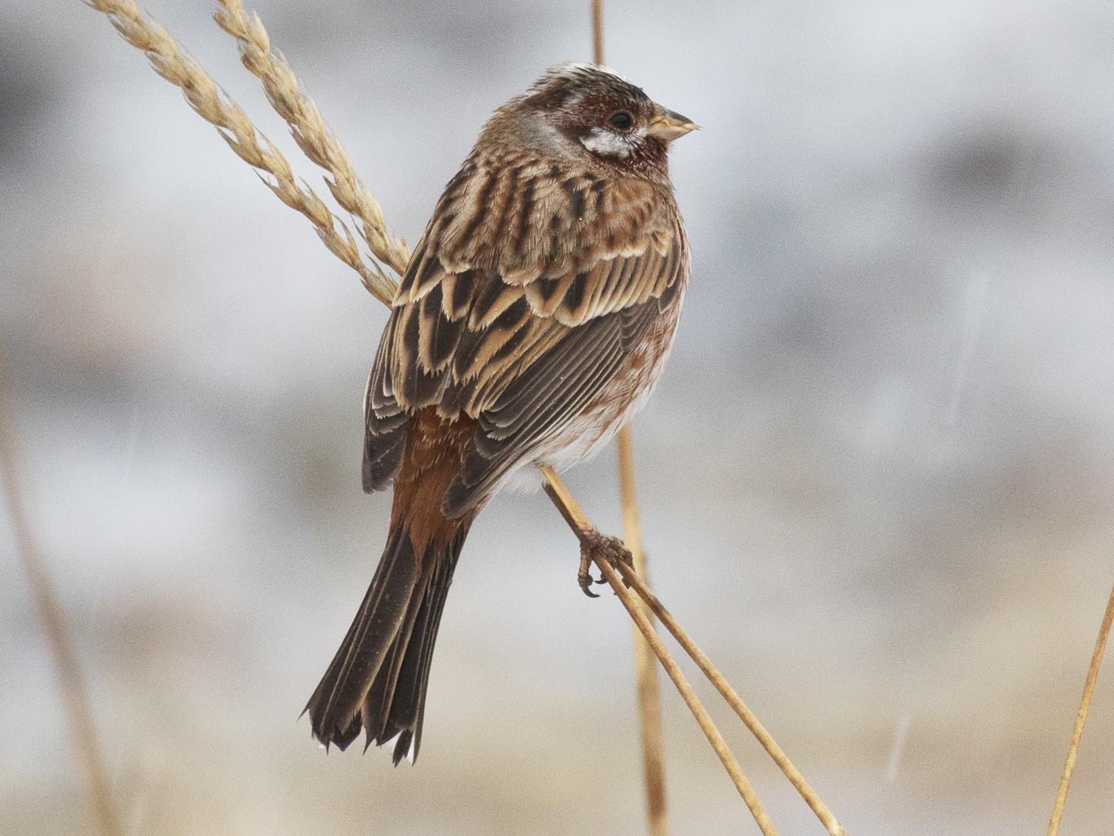 Pine Bunting - Kantori Birders